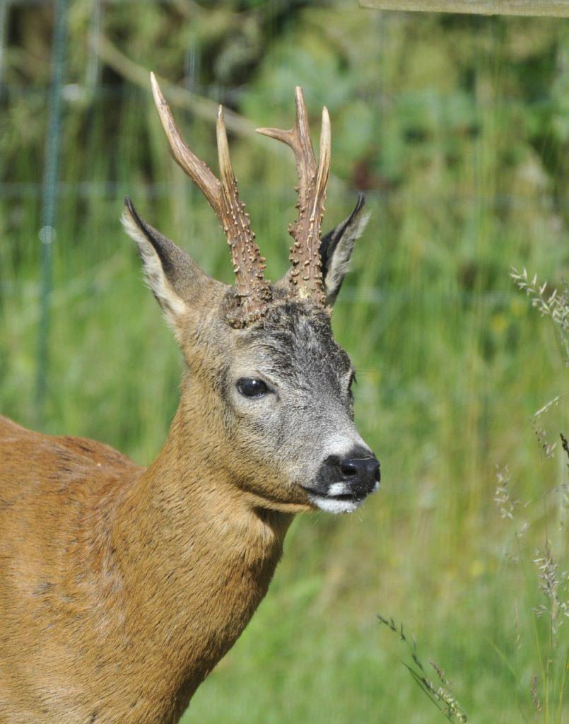 roebuck, roe deer, animal-4410534.jpg